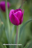 63821-22806 Purple tulips, Chicago Botanic Garden, Glencoe, IL