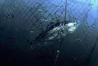 Hundreds of Southern Bluefin Tuna, Thunnus maccoyii, can be seen in the background inside this holding pen. Sharks inadvertantly chew their way into these holding pens, as they feed on the carcasses of tuna, like this one, caught in the netting. South Australia.