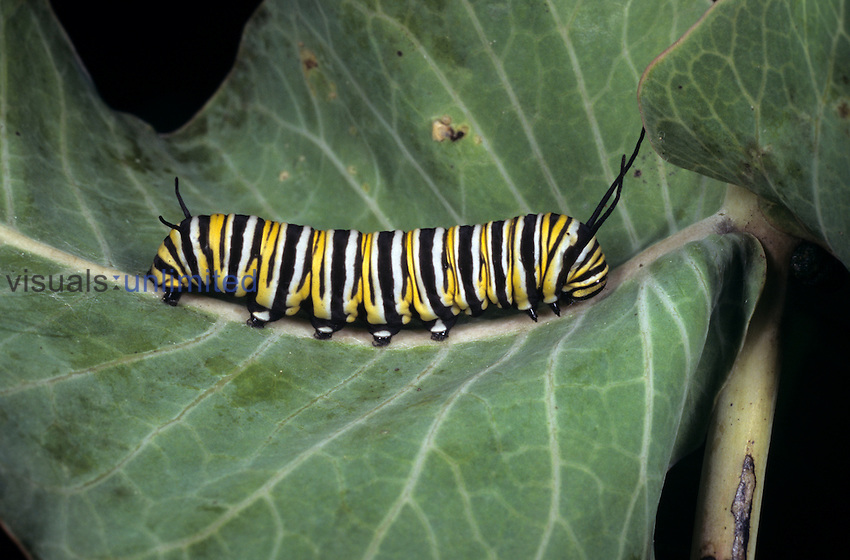 Aposematic or warning coloration of the Monarch Butterfly Caterpillar (Danaus plexippus). The larva can tolerate poisonous chemicals ingested from its milkweed foodplant even though the same chemicals will sicken a predator that eats the caterpillar, Florida.
