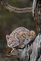 611006046 a captive bobcat felis rufus crouches on a large tree limb in a forested area in central montana
