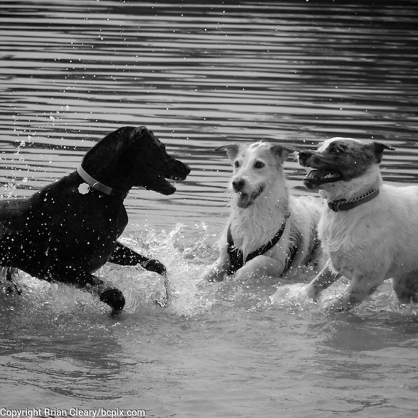 Three dogs at play at a dog park in Charleston, SC, July 2013.  (Photo by Brian Cleary/www.bcpix.com)