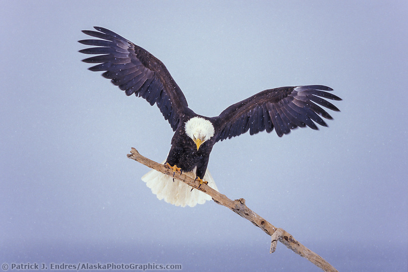 bald eagle perched on a driftwood branch alaskaphotographics com