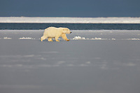 Polar bear, Beaufort sea, Barter Island, Arctic National Wildlife Refuge, Alaska