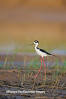 00904-00715 Black-necked Stilt (Himantopus mexicanus) in wetland, Karl Bartel Grassland Prairie Ridge SNA Marion Co IL