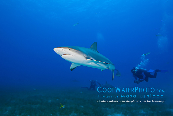 Caribbean Reef Shark, Carcharhinus perezi, and scuba divers, over seagrass bed, West End, Grand Bahamas, Atlantic Ocean