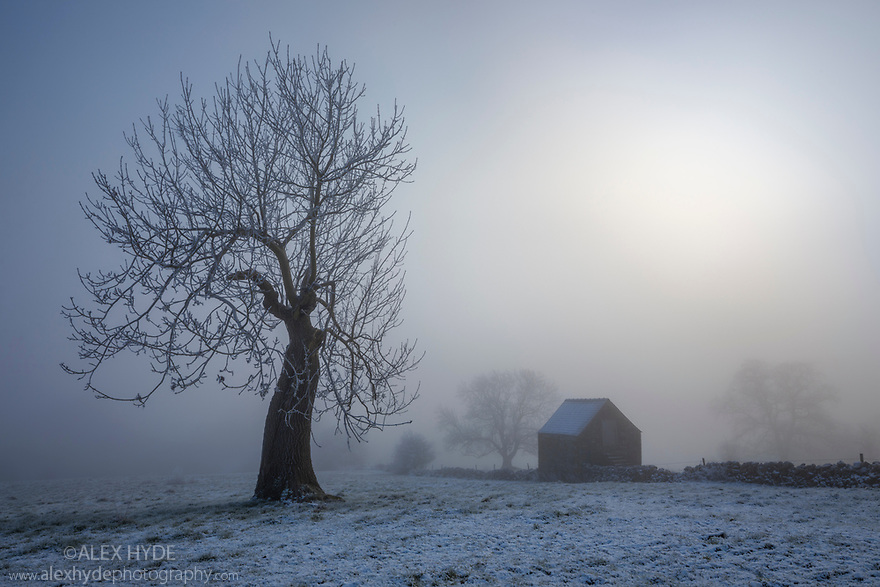 Stone field barn in thick fog next to Ash tree (Fraxinus excelsior). Bonsall, Peak District Natioanl Park, Derbyshire. January.