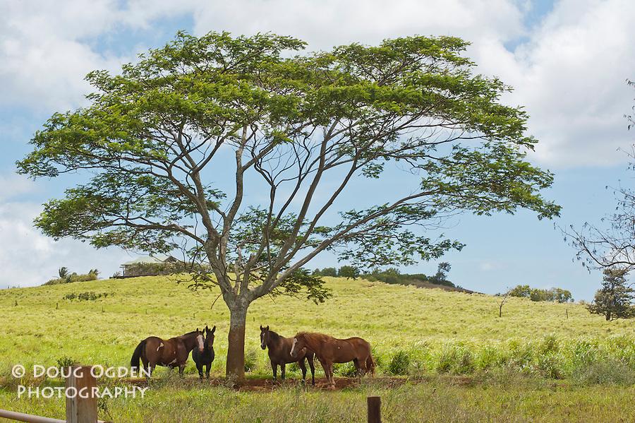 Horses shading under an African Tree, Kauai, Hawaii
