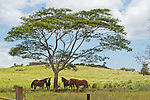 Horses shading under an African Tree, Kauai, Hawaii
