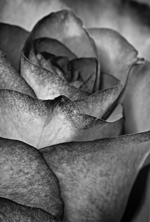 Rose - Rosaceae