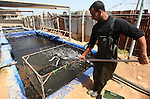 A Palestinian man catches bream fish at a fish farm in Gaza city on April 28, 2015. Restrictions placed on Gaza fishermen by Israeli naval vessels has made living from the sea an almost impossible occupation, whereas aid organizations like WFP encourage fish farming in Gaza to provide an alternative source of nutrition to the 1.6 million residents of the Strip. Photo by Ashraf Amra