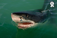 Great White shark (Carcharodon carcharias), breaking waters surface (Licence this image exclusively with Getty: http://www.gettyimages.com/detail/200482559-001 )