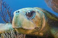 Adult loggerhead turtle, Caretta caretta, West Palm Beach, Florida