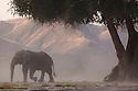 Namibia;  Namib Desert, Skeleton Coast,  desert elephant (Loxodonta africana) bull in dry river bed during dust storm