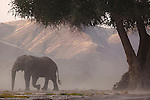 Namibia;  Namib Desert, Skeleton Coast,  desert elephant (Loxodonta africana) bull in dry river bed during dust storm