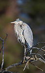 Great Blue Heron in tree in Montana