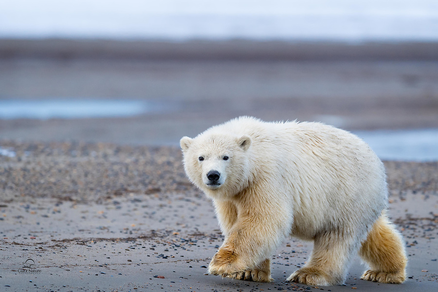 Polar Bear cub trots alongside our boat as we move along the shore.  Kaktovik, Alaska