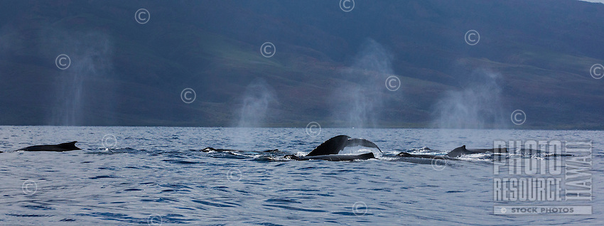 A pod of humpback whales swim off the coast of Maui.