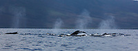 A pod of humpback whales swim off the coast of Maui.