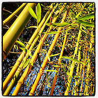 The afternoon sun warms a stand of bamboo on Duval Street in the Germantown section of Philadelphia on January 5, 2013.