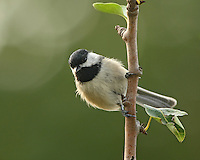 This tiny bird has a short neck and large head, giving it a distinctive, rather spherical body shape.