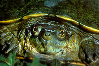 482909003 portrait of a wild yellow mud turtle kinosternon flacescens flavescens rio grande valley texas
