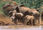 African elephants, Mpala, Nanyuki, Kenya