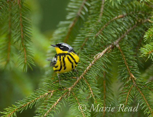 Magnolia Warbler (Dendroica magnolia) male in breeding plumage perched on spruce branch, New York, USA