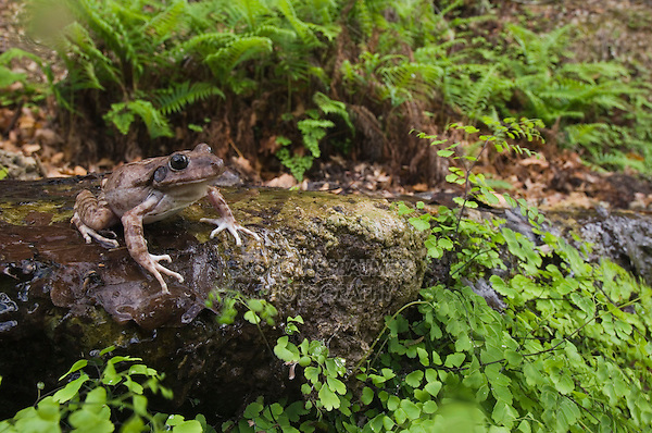 Eastern Barking Frog, Eleutherodactylus augusti latrans, adult at natural spring with fern, Uvalde County, Hill Country, Texas, USA, April 2006