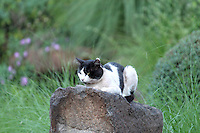 Fierce looking black and white cat sitting on rock prying and ready to attack a prey
