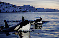 Trio of Curious killer whale calves, tysfjord, Arctic Norway