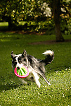 Border Collie catching frisbee