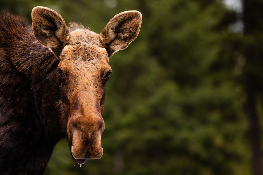 A young bull moose without antlers is seen close up in Bonner County, Idaho