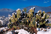 A Prickly Pear cactus (Opuntia) dusted with spring snow. Arizona.
