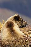 Brown bear, Denali National Park, Alaska
