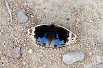 Blue Pansy Butterfly, Precis orithya, Bandhavgarh National Park, wings open showing blue and eyespots.India....