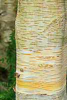 White bark birch tree (Betula utilis var. jacquemontii)