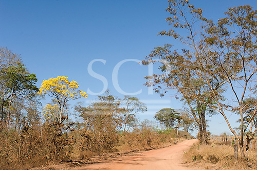 Nova Brasilandia, Mato Grosso, Brazil. Roadside Ipe Amarelo tree. Dirt road through Cerrado.