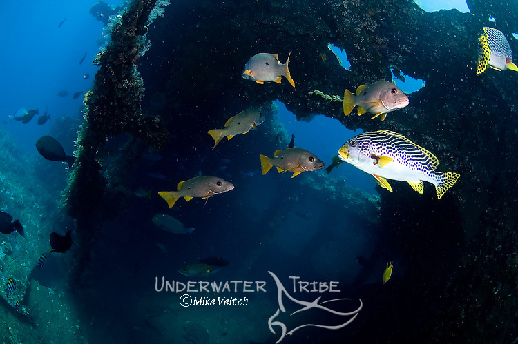 A variety of fish at the USS Liberty wreck, lined sweetlips, Plectorhinchus lineatus, onespot snapper, Lutjanus monostigmus, and lowfin rudderfish, Kyphosus vaigiensis, Tulamben, Bali, Indonesia, Pacific Ocean