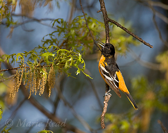 Baltimore Oriole (Icterus galbula), male singing in spring, New York, USA
