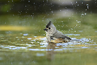 Tufted titmouse (Baeolophus bicolor), adult bathing, Hill Country, Texas, USA, North America