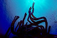 Finger sponge, Haliclona, Phylum Porifera, Class Demospongiae, Order Haplosclerida, Family Haliclonidae, Bonaire, Caribbean