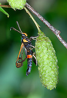 Large Red-belted Clearwing - Synanthedon culiciformis