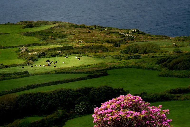 Cows in pasture with blooming rhododendron. Cornwall, England