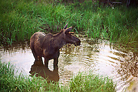 A young bull moose (Alces alces americana) feeding in a swamp in Northern British Columbia, Canada.