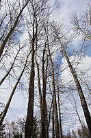Winter-bare trees stand and wait for spring's adornment at Cisco Grove Gould Park in the Sierra Mountains.