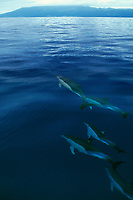 common dolphins, Delphinus delphis, Azores Islands, Portugal (North Atlantic Ocean)