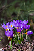 Crocus sieberi Tricolor in California garden, blue violet species crocus bulb flower with yellow stamen