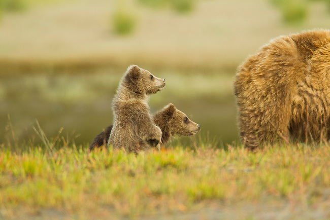 These two brown bear cubs hide behind their mother after coming dangerously close to a male bear that could have killed them.  The mother later chases the young male bear from the area where her family is grazing in Lake Clark National Park, Alaska.  Photo by Gus Curtis.