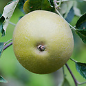 Apple 'Brownlees' Russet', mid September. A mid-19th-century English dessert apple bred by William Brownlees of Hemel Hempstead, Hertfordshire.