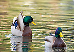 "Mallard (Anas platyrhynchos) male performing courtship display ""Head-Up-Tail-Up"", California, USA"